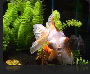 Tips on Keeping Goldfish in a Bowl